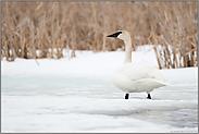 auf dem zugefrorenen Fluss... Trompeterschwan *Cygnus buccinator*