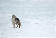 nass bis auf die Haut... Kojote *Canis latrans*