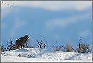 im Winter... Beifußhuhn *Centrocercus urophasianus*