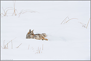 im Schnee... Kojote *Canis latrans*