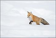 Fuchs im Schnee... Amerikanischer Rotfuchs *Vulpes vulpes fulva*