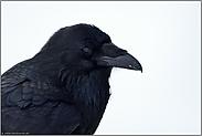 Rabenportrait... Kolkrabe *Corvus corax*
