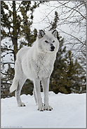 grimmig... Timberwolf *Canis lupus lycaon*