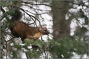 scheuer Waldbewohner... Amerikanischer Baummarder *Martes americana*