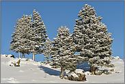 tiefblauer Himmel und ein paar Fichten... Yellowstone Nationalpark *Nordamerika*