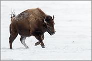 Freudensprünge...  Amerikanischer Bison *Bison bison*
