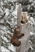 gelenkig... Amerikanischer Baummarder *Martes americana*