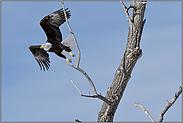 der Abflug... Weisskopfseeadler *Haliaeetus leucocephalus*