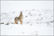 Kojotengeheul... Kojote *Canis latrans*