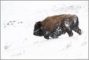 pure Kraft...  Amerikanischer Bison *Bison bison*