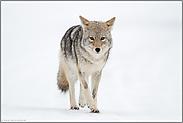 Blickkontakt... Kojote *Canis latrans*