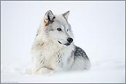 ein schönes Tier... Timberwolf *Canis lupus lycaon*