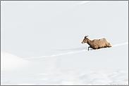 im hohen Schnee... Dickhornschaf *Ovis canadensis*