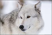 Wolfsaugen... Timberwolf *Canis lupus lycaon*