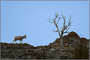 hoch oben auf dem Grat... Dickhornschaf *Ovis canadensis*