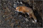 in den Felsen... Amerikanischer Rotfuchs *Vulpes vulpes fulva*