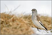 kleiner Vogel, ganz groß... Schneesperling *Montifringilla nivalis*