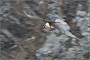 schneller Flug... Bartgeier *Gypaetus barbatus*