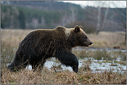 umherziehend... Europäischer Braunbär *Ursus arctos*