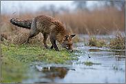 am Wasser... Rotfuchs *Vulpes vulpes*