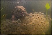 mitten im Froschlaich... Erdkröten *Bufo bufo*