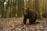 stürmisch... Europäischer Braunbär *Ursus arctos*