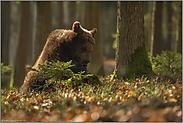Nahrungssuche... Europäischer Braunbär *Ursus arctos*