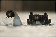 Nessie... Haubentaucher *Podiceps cristatus*