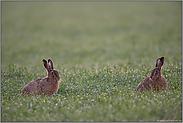 inmitten von Tautropfen... Feldhasen *Lepus europaeus*