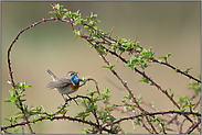 in den Brombeeren... Blaukehlchen *Luscinia svecica