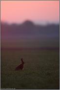 Morgenröte... Feldhase *Lepus europaeus*