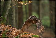 Flug durch den Herbstwald... Europäischer Uhu *Bubo bubo*