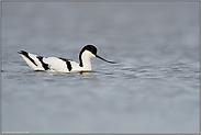 schwimmend... Säbelschnäbler *Recurvirostra avosetta*