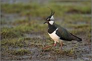 Lebensraum nassfeuchte Wiesen... Kiebitz *Vanellus vanellus*
