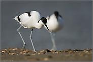 ein Pärchen oder nur zwei gemeinsam... Säbelschnäbler *Recurvirostra avosetta*