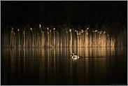 Lichtstimmung am See... Prachttaucher *Gavia arctica*