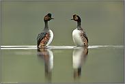 Pinguintanz... Schwarzhalstaucher *Podiceps nigricollis*