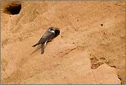 ein kleines Loch in der Wand... Uferschwalbe *Riparia riparia*