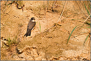 lange Flügel... Uferschwalbe *Riparia riparia*