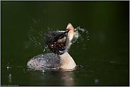 beim Fischfang... Haubentaucher *Podiceps cristatus*