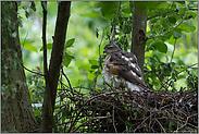 das Nest ist fertig... Sperber *Accipiter nisus*