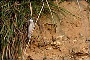 in der Balz... Uferschwalbe *Riparia riparia*