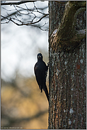 im lichten Altholzbestand... Schwarzspecht *Dryocopus martius*