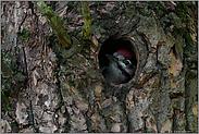 Jungspecht in der Höhle... Buntspecht *Dendrocopos major*