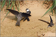 Hektik an der Brutwand... Uferschwalbe *Riparia riparia*