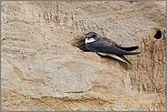 ruhend... Uferschwalbe *Riparia riparia*