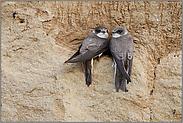 das Pärchen... Uferschwalbe *Riparia riparia*