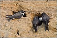 Auseinandersetzungen in der Uferschwalbenkolonie... Uferschwalbe *Riparia riparia*