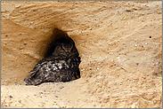 in der Nisthöhle... Europäischer Uhu *Bubo bubo*