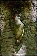 Kropffütterung... Grünspecht *Picus viridis*